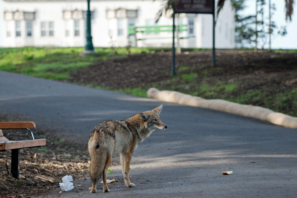 image of a coyote in Connecticut city.