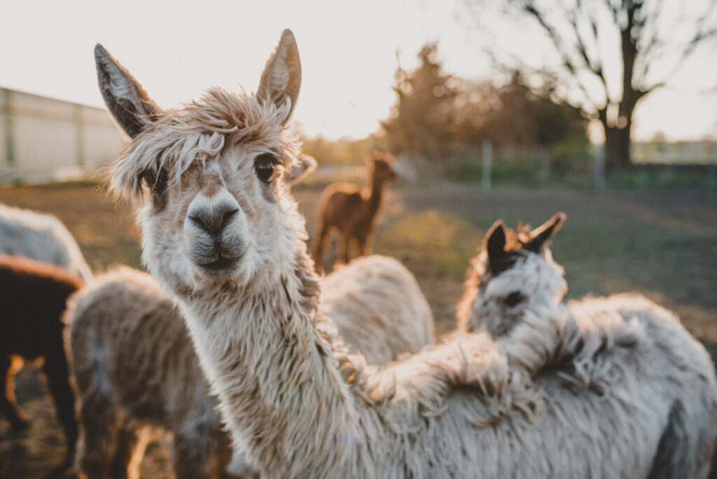 image of alpacas in Connecticut.